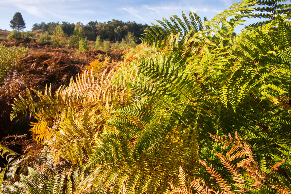 Autumnal bracken and Scots pine, Ashdown Forest, Sussex Weald, England