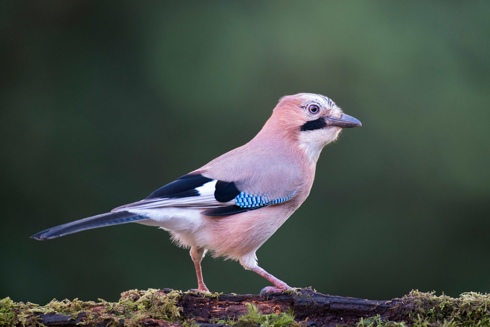 Jay on moss-covered log, Ashdown Forest, Sussex Weald, England