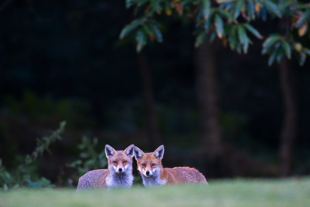 Red foxes at edge of forest at twilight, Ashdown Forest, Sussex Weald, England