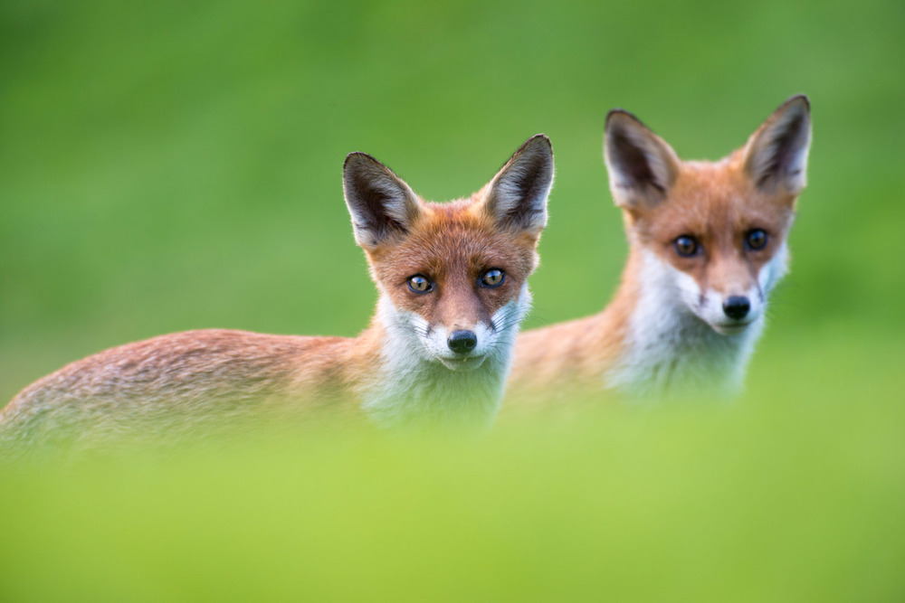 Red fox cubs portrait, Ashdown Forest, Sussex Weald, England