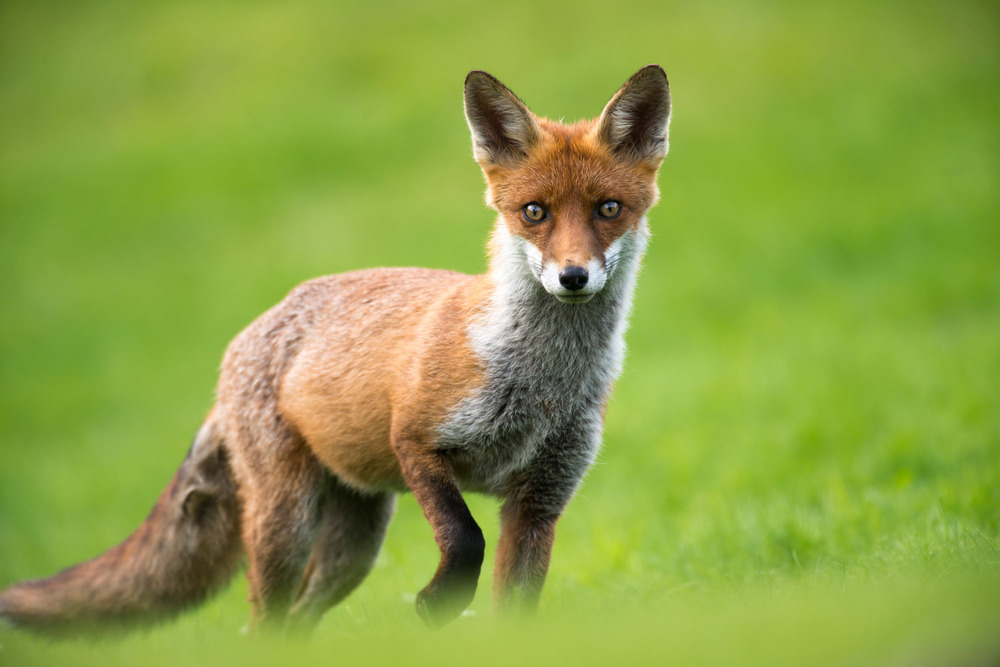 Red fox cub, Ashdown Forest, Sussex Weald, England