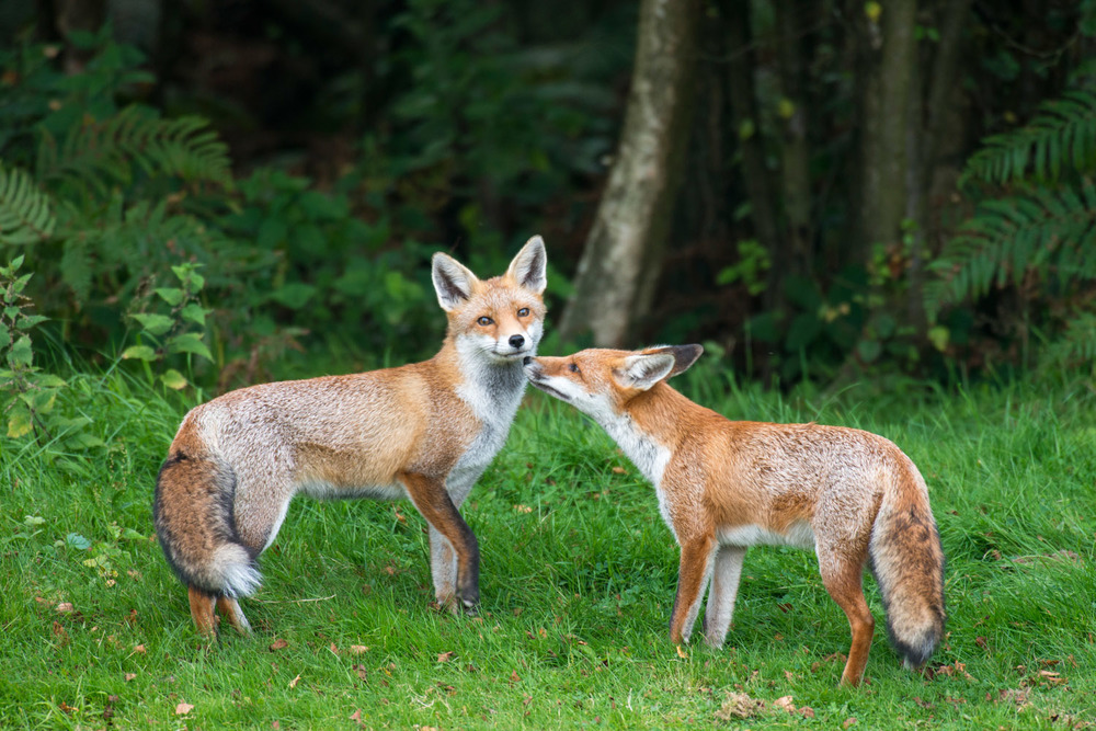 Red fox cub interacting with adult, Ashdown Forest, Sussex Weald, England