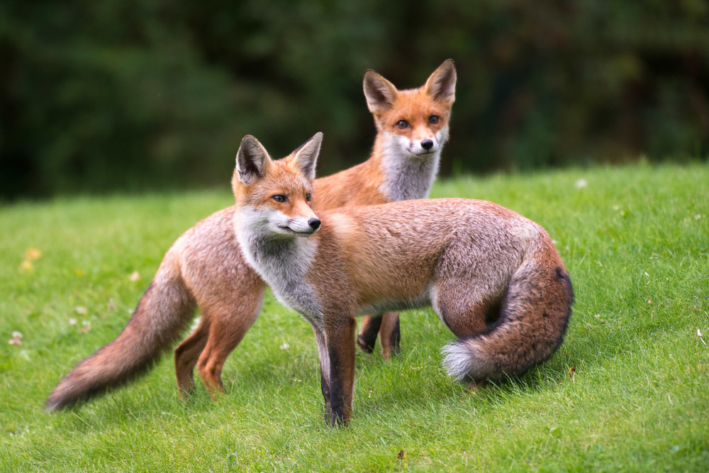 Red foxes, Ashdown Forest, Sussex Weald, England