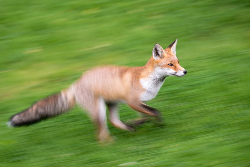Red fox running, Ashdown Forest, Sussex Weald, England