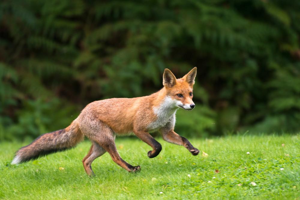 Red fox cub running, Ashdown Forest, Sussex Weald, England