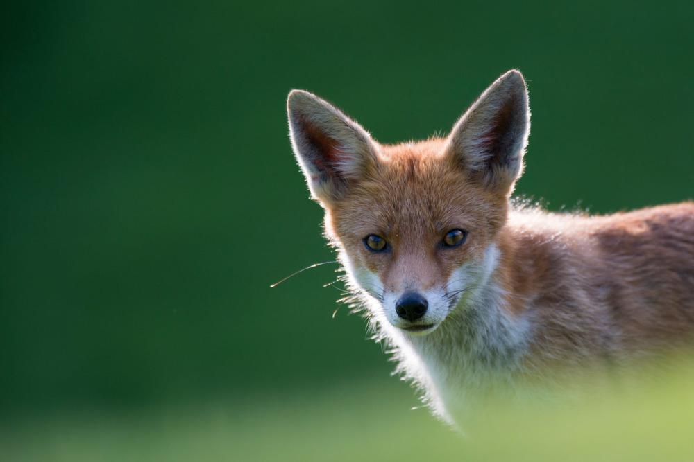 Red fox cub portrait, Ashdown Forest, Sussex Weald, England
