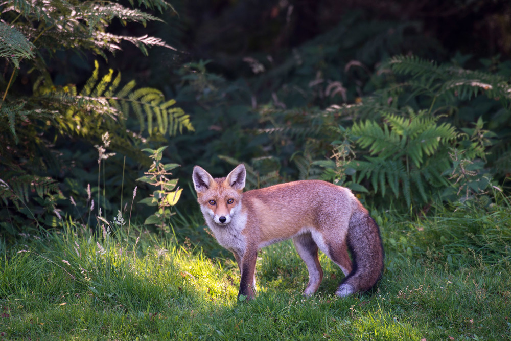 Red fox cub at edge of forest, Ashdown Forest, Sussex Weald, England