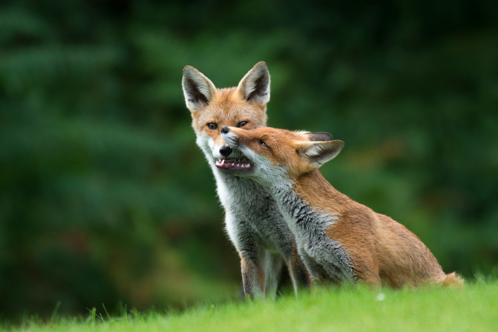 Red fox cub interacting with parent, Ashdown Forest, Sussex Weald, England