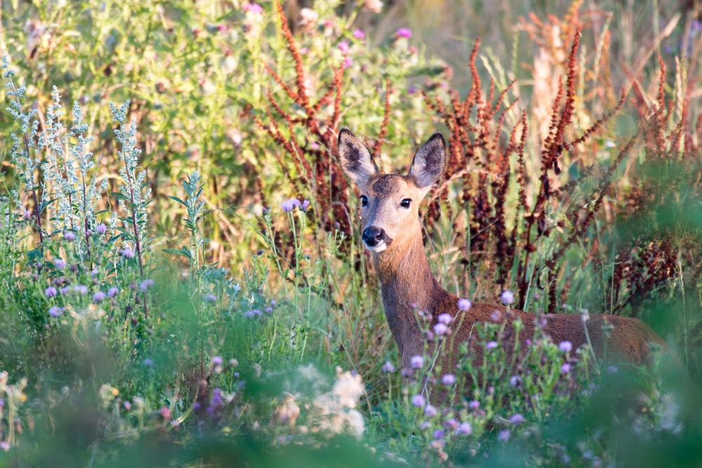 Roe deer doe in meadow at dawn, Sussex Weald, England