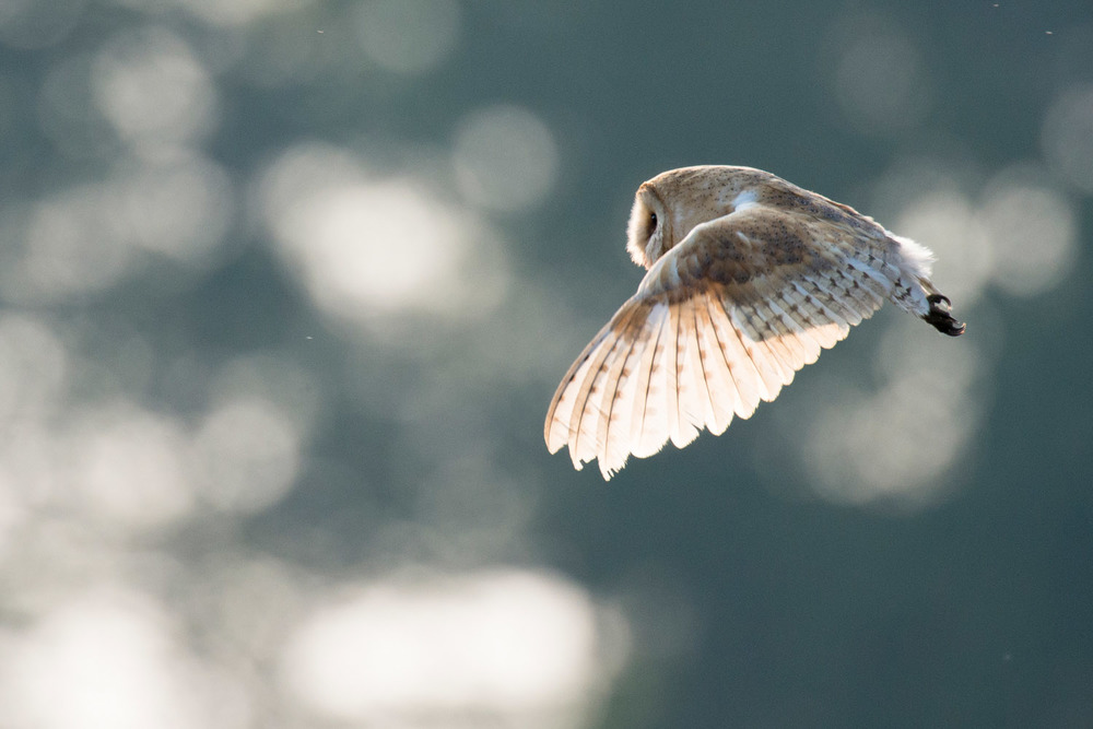 Barn owl in flight, Sussex Weald, England
