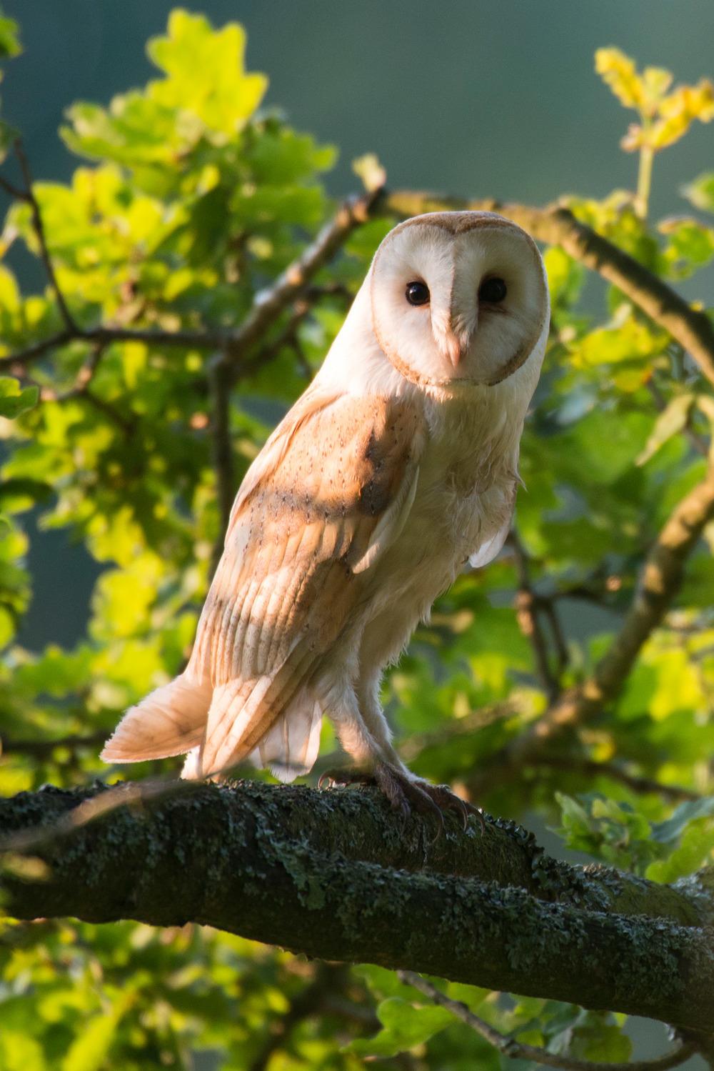 Barn owl in oak tree, Sussex Weald, England