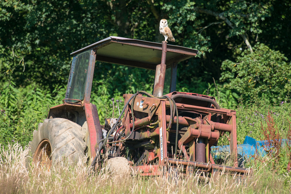 Barn owl perched on derelict tractor, Sussex Weald, England