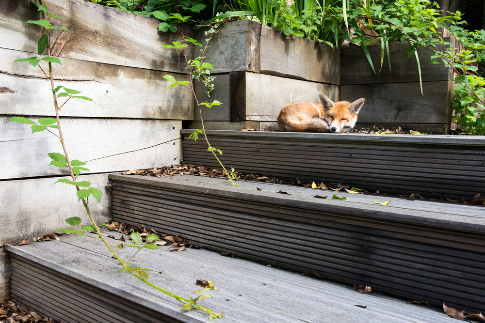Red fox cub asleep on garden steps, Sussex Weald, England