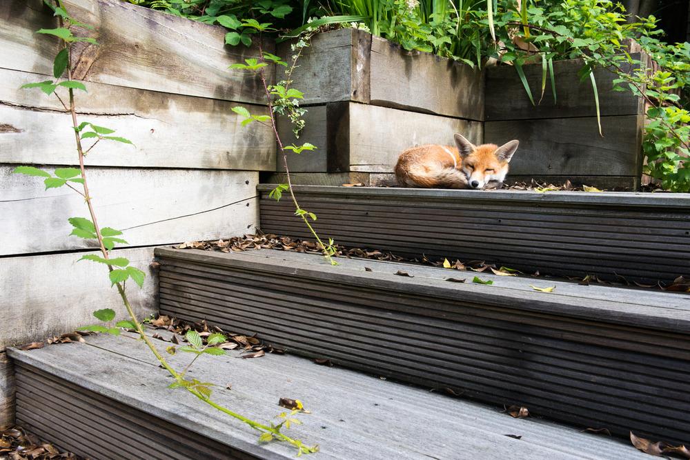 Red fox cub asleep on garden steps, Sussex Weald, England