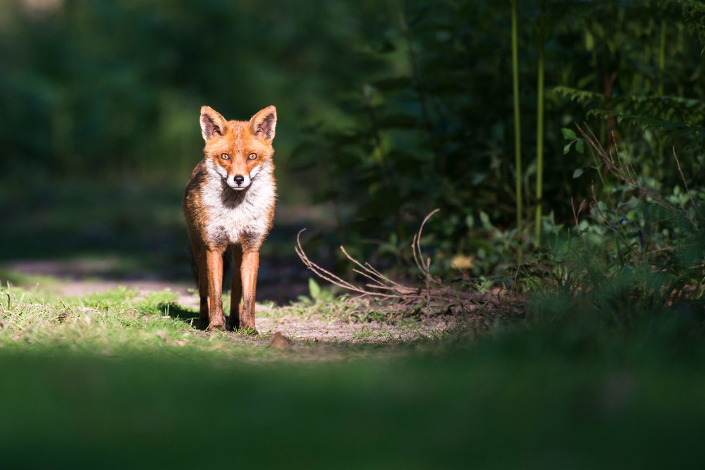 Red fox on forest track, Ashdown Forest, Sussex Weald, England