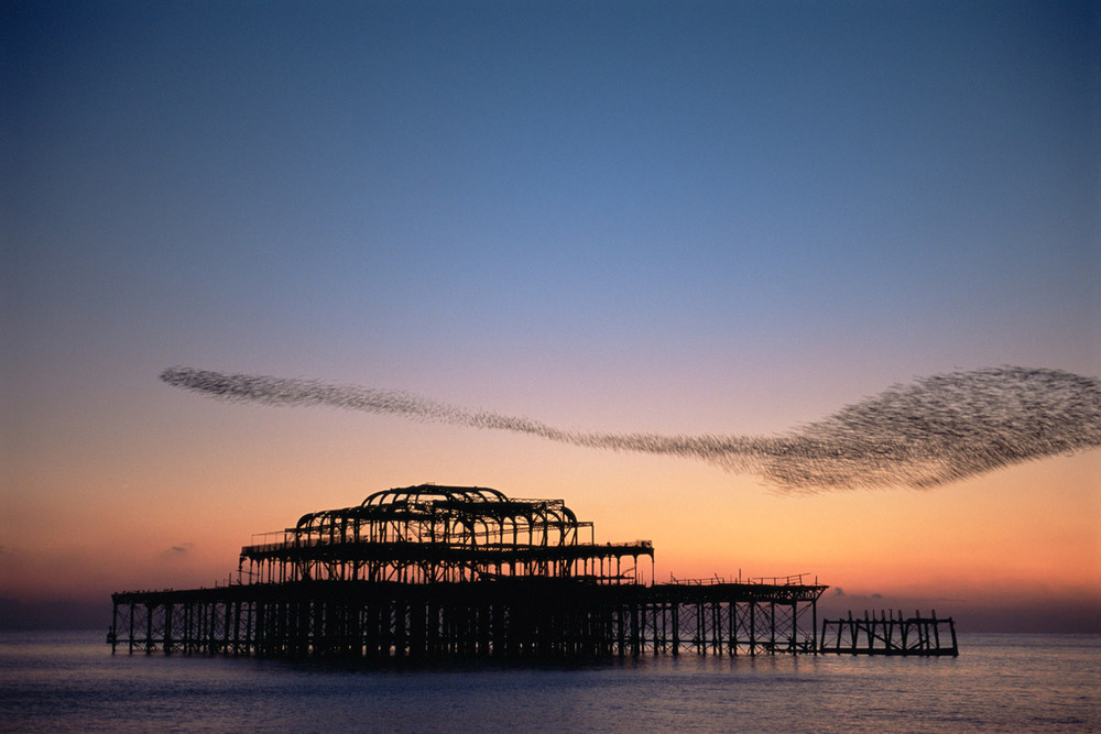 Starling flock above derelict West Pier at twilight, Brighton, Sussex, England