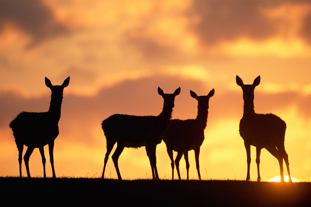 Red deer hinds at sunrise, Sussex, England