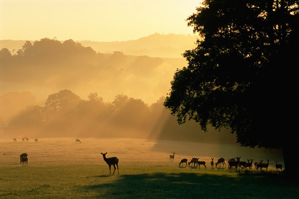 Red and sika deer at dawn, Sussex, England