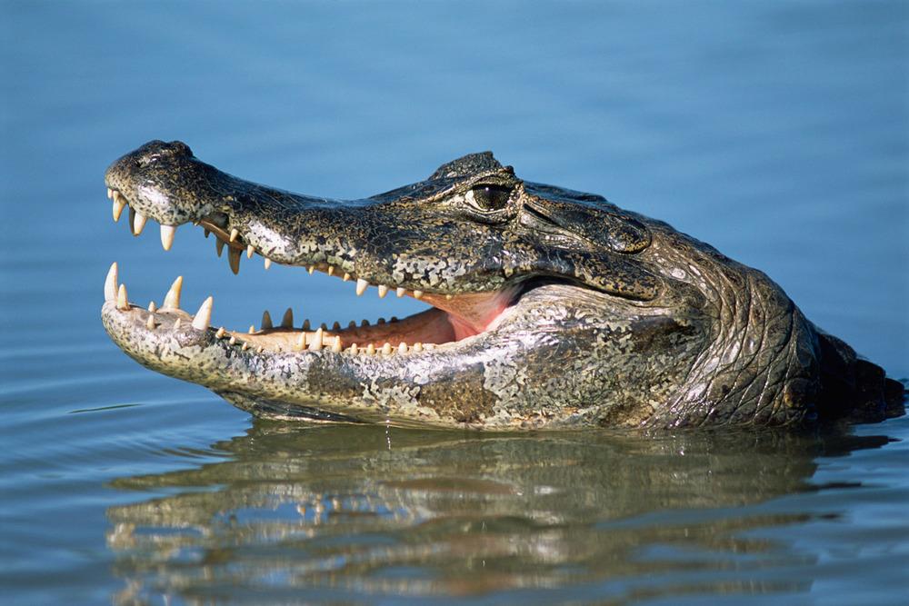Yacare caiman submerged, Pantanal, Mato Grosso, Brazil