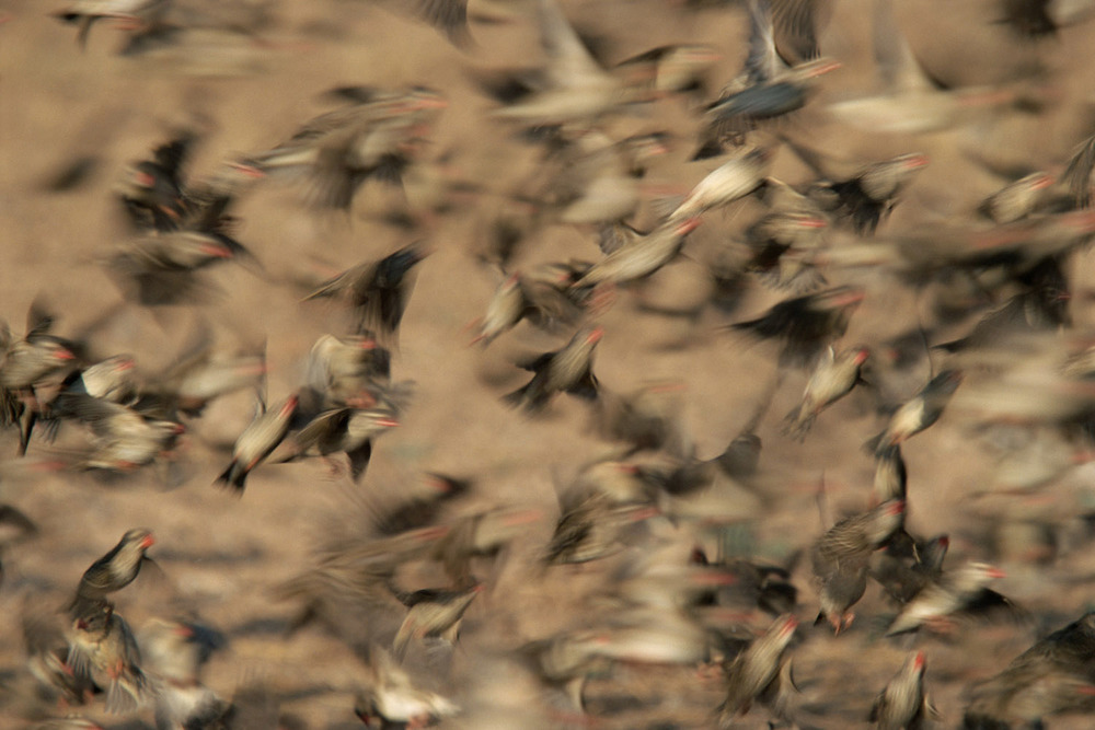 Red-billed quelea flock in flight, Kgalagadi Transfrontier Park, South Africa