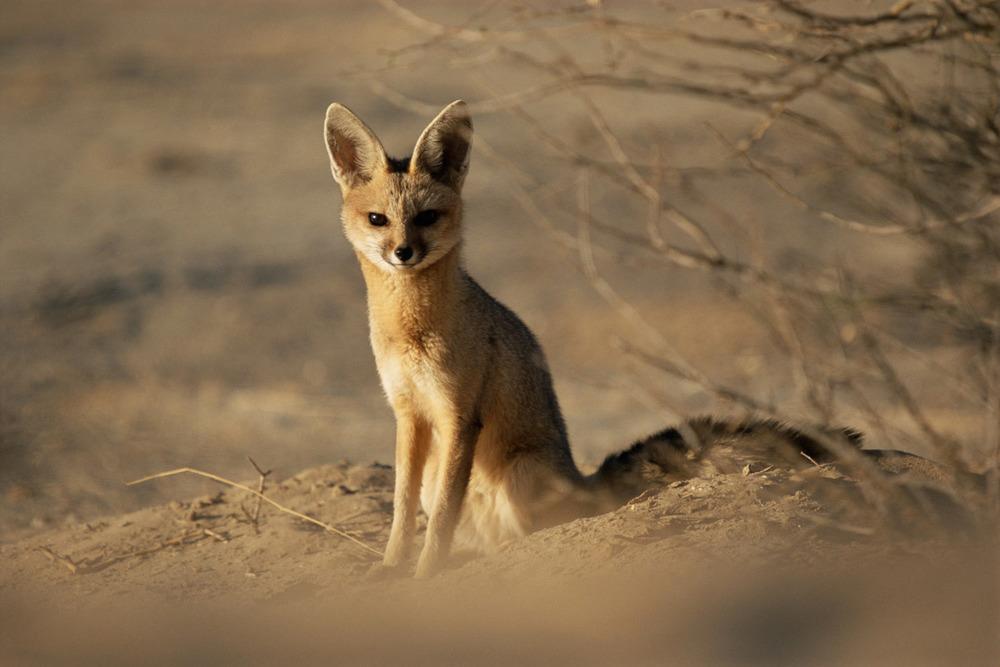 Cape fox at den, Kgalagadi Transfrontier Park, South Africa
