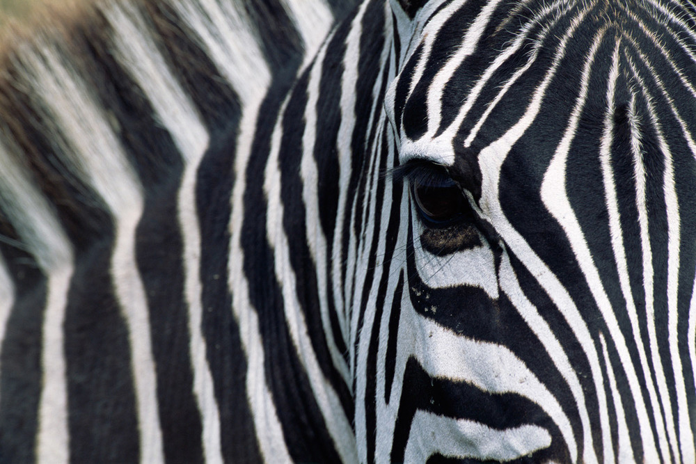 3. Common zebra portrait, Masai Mara National Reserve, Kenya