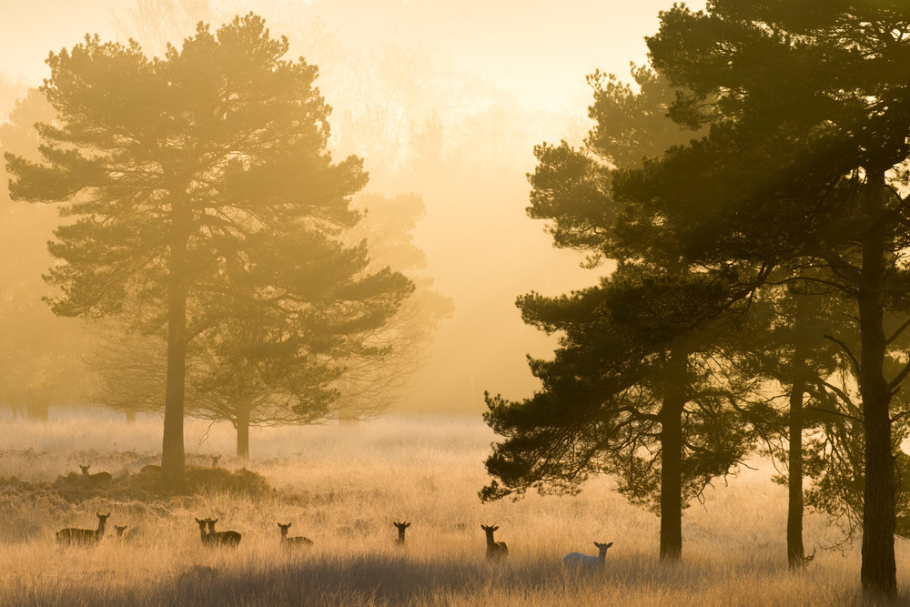 10. Fallow deer and Scots pines at dawn, Ashdown Forest, Sussex Weald, England