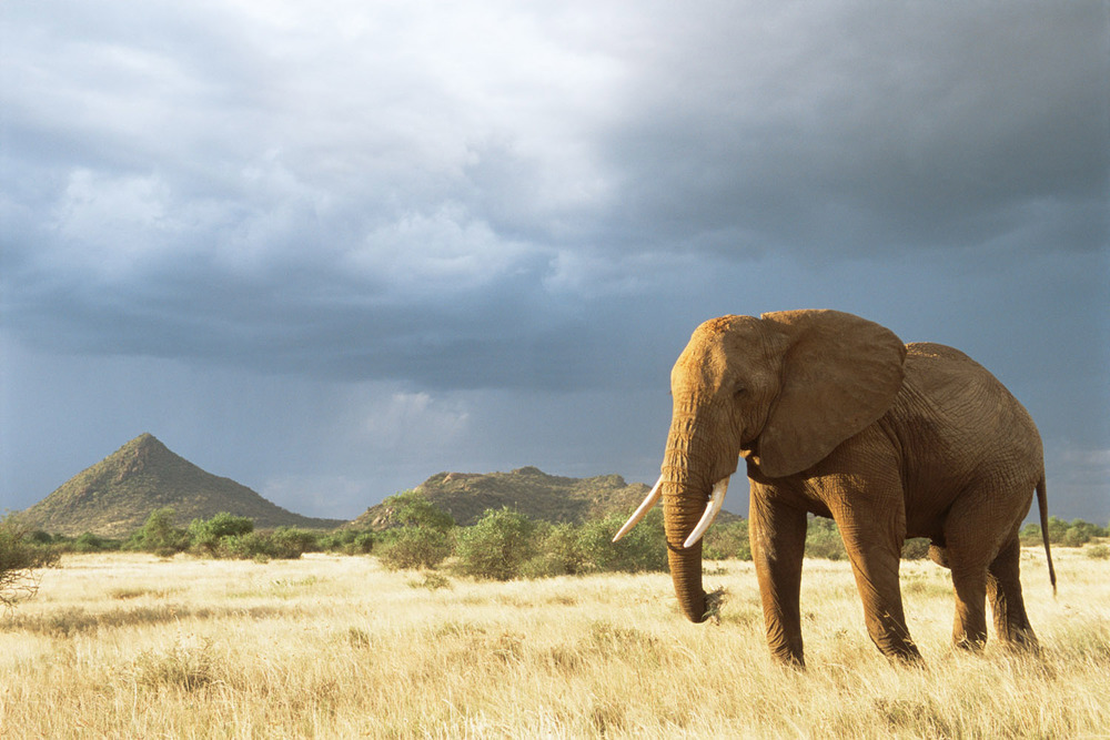 African elephant in storm light, Samburu National Reserve, Kenya