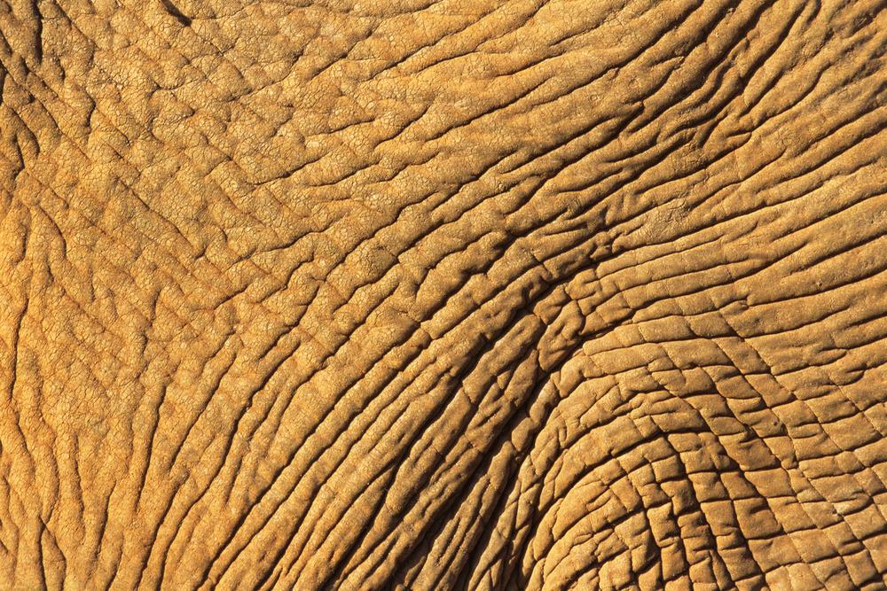 African elephant skin detail, Samburu National Reserve, Kenya
