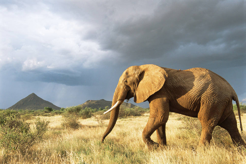 African elephant on the move in storm light, Samburu National Reserve, Kenya