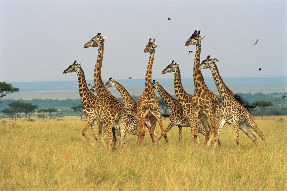 Maasai giraffe family fleeing predator (lions), Masai Mara National Reserve, Kenya