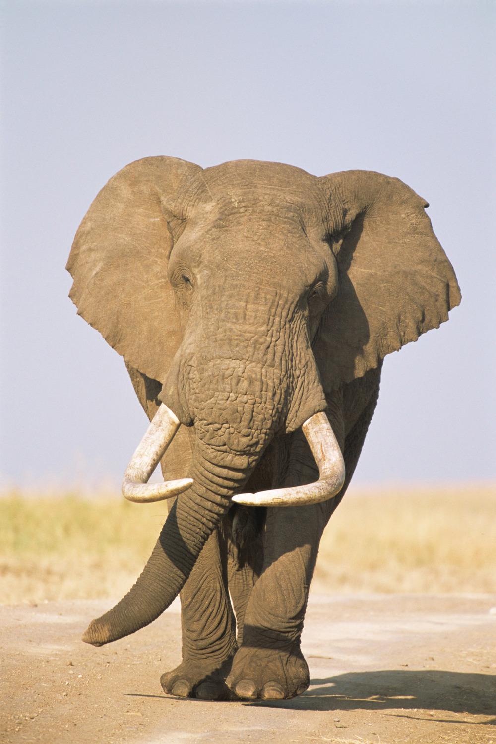 African bull elephant approaching, Masai Mara National Reserve, Kenya