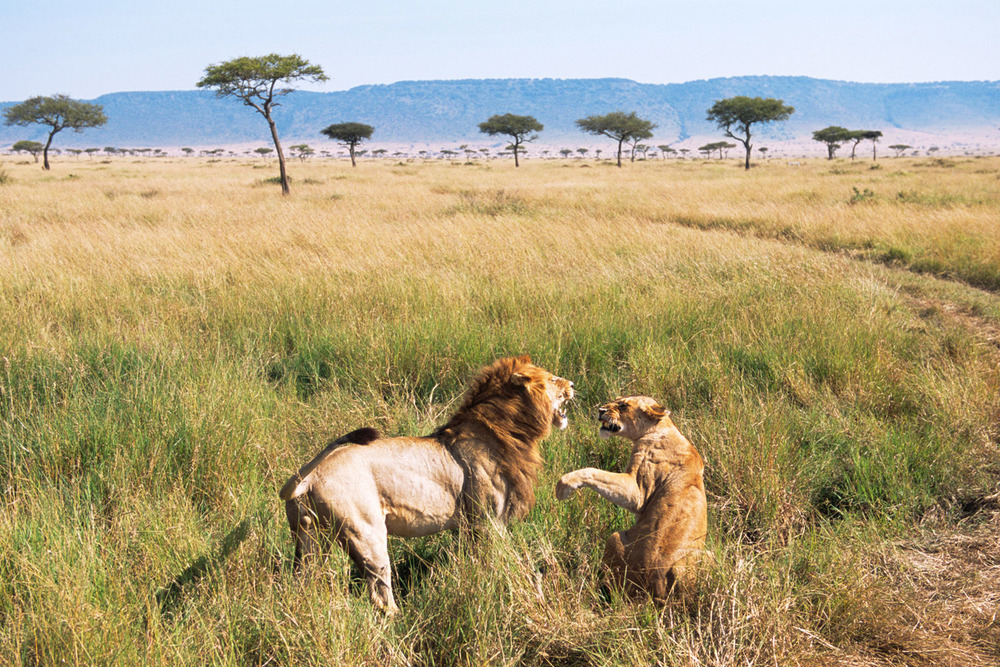 Lion and lioness quarrelling, Masai Mara National Reserve, Kenya