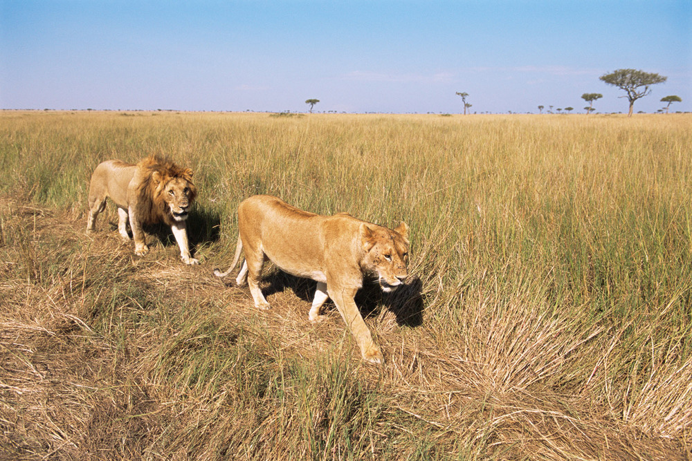 Lion and lioness on the move, Masai Mara National Reserve, Kenya