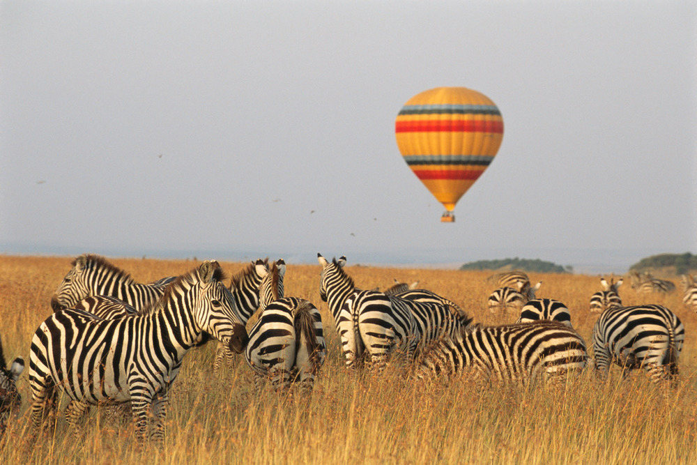 Common zebras and hot air balloon safari, Masai Mara National Reserve, Kenya