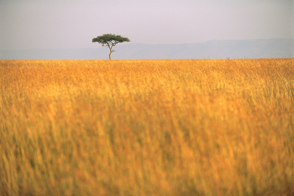 Lone desert date tree in sea of red oat grass, Masai Mara National Reserve, Kenya