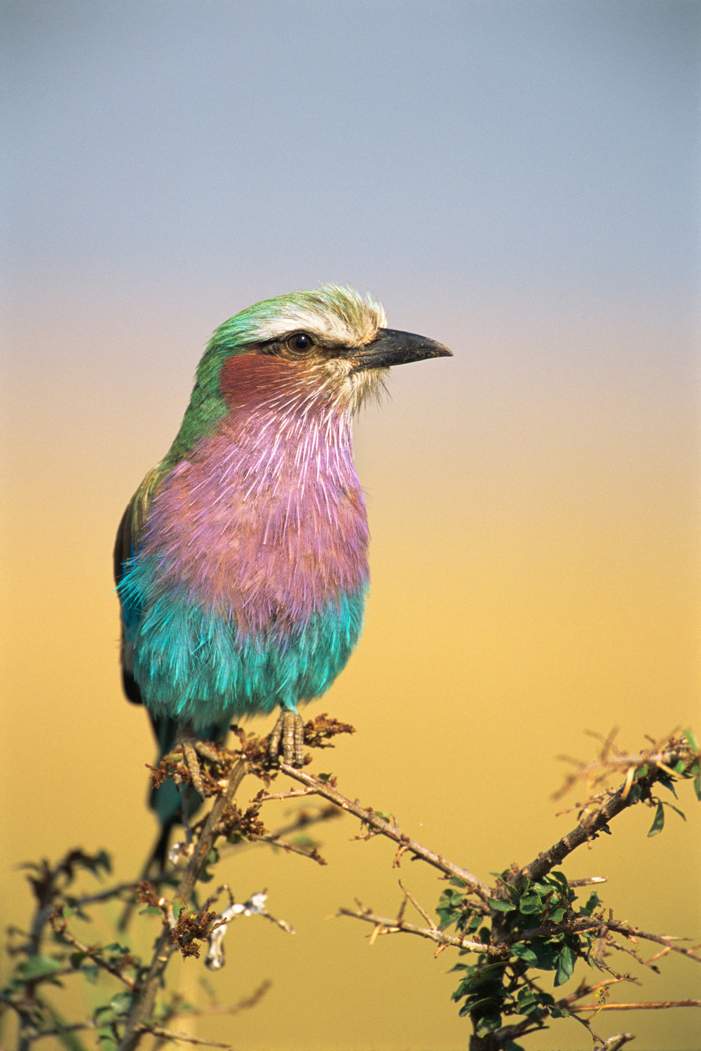 Lilac-breasted roller, Masai Mara National Reserve, Kenya