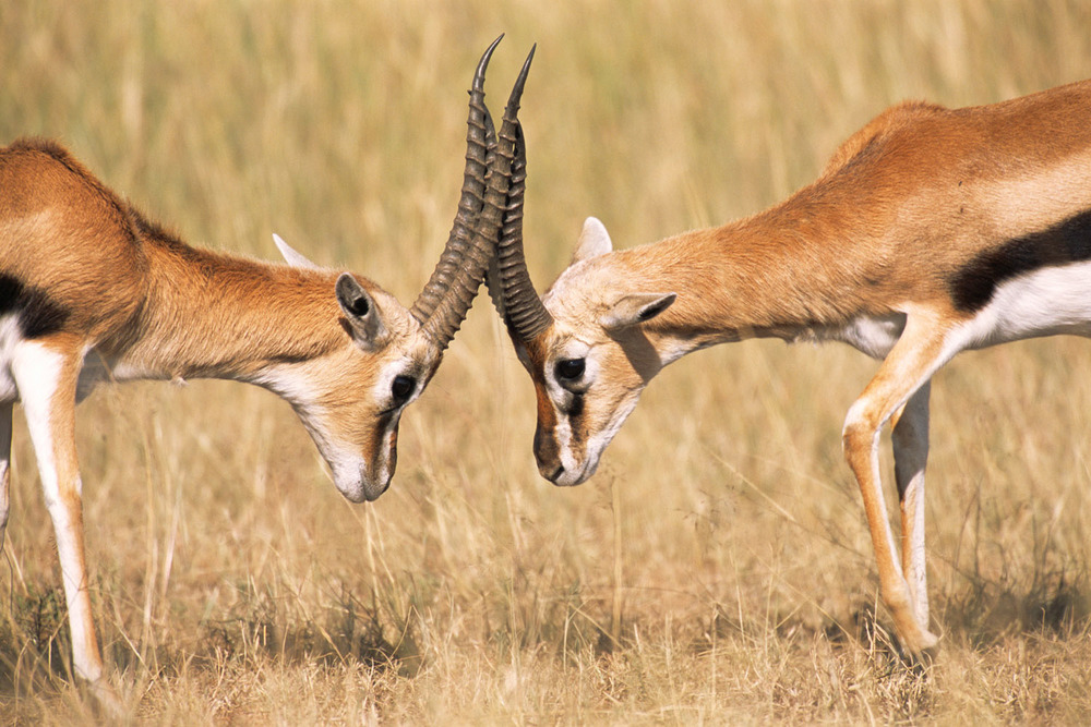 Thomson's gazelles fighting, Masai Mara National Reserve, Kenya