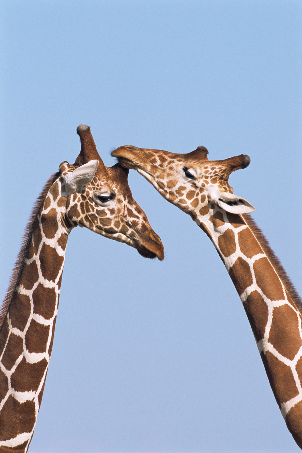 Reticulated giraffes bonding, Samburu National Reserve, Kenya