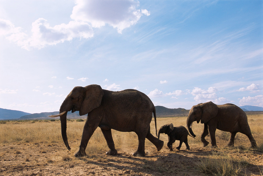 African elephant family on the move, Samburu National Reserve, Kenya