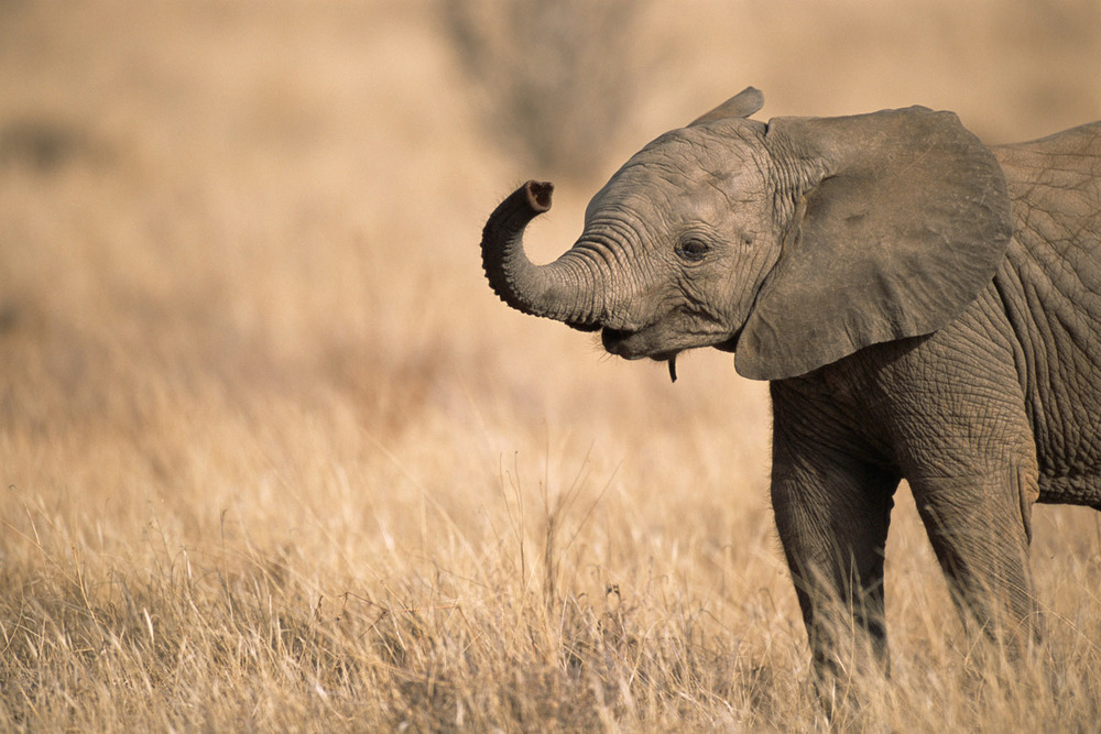 African elephant baby extending trunk, Samburu National Reserve, Kenya
