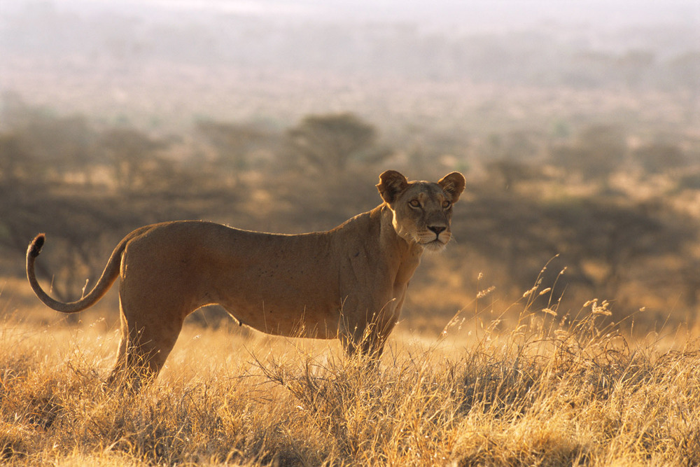 Lioness at dawn, Samburu National Reserve, Kenya