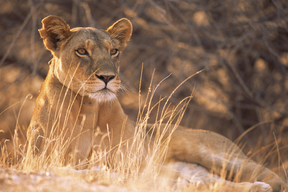 Lioness on alert, Samburu National Reserve, Kenya