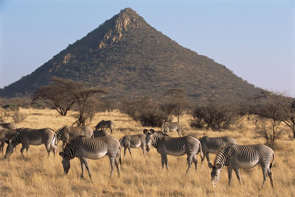 Grévy's zebra grazing, Samburu National Reserve, Kenya