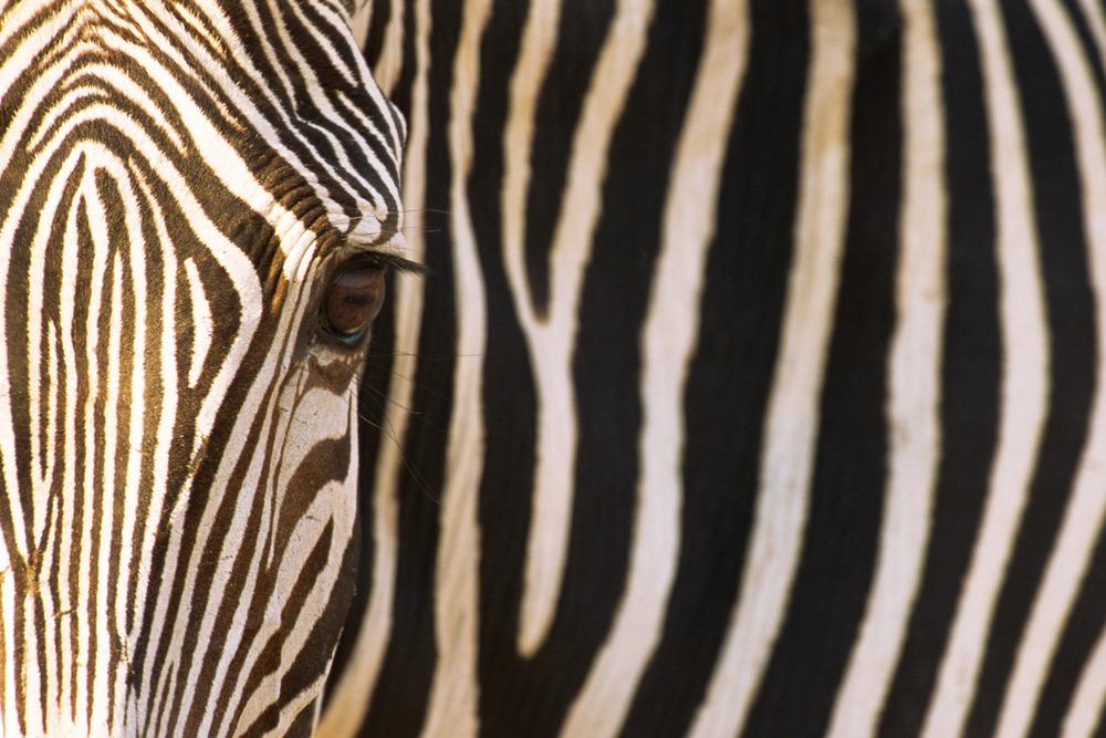 Grévy's zebra portrait, Samburu National Reserve, Kenya