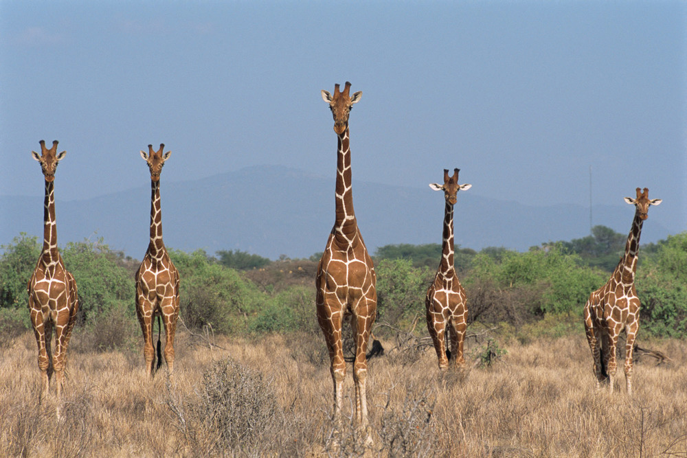 Reticulated giraffes on alert, Samburu National Reserve, Kenya