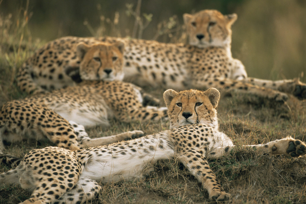 Cheetah family resting, Masai Mara National Reserve, Kenya