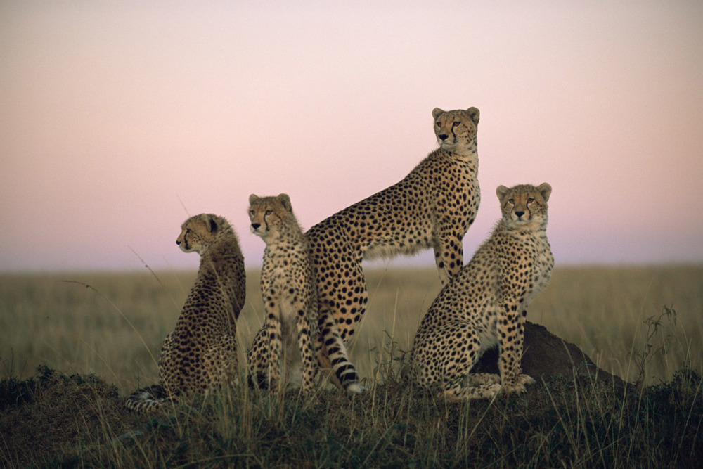 Cheetah family at dawn, Masai Mara National Reserve, Kenya