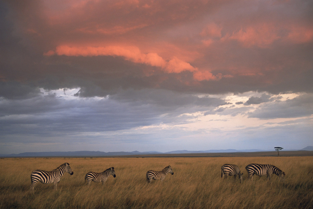 Common zebras at twilight, Masai Mara National Reserve, Kenya