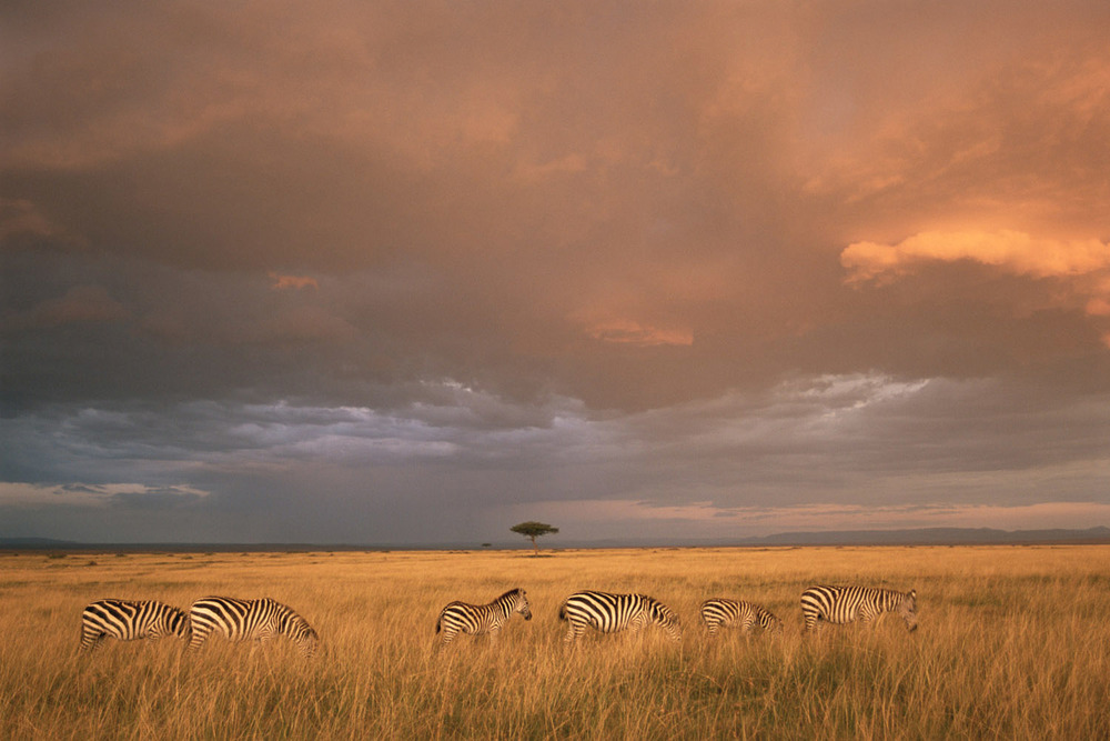 Common zebras in storm light, Masai Mara National Reserve, Kenya